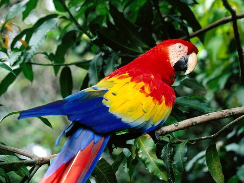 Colorful-Scarlet-Macaw