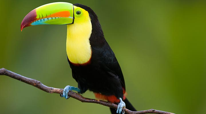 live-belize-keel-billed-toucan-national-bird